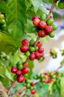 Galho de árvore de café cheio de amadurecimento de cerejas de café, província de nan, no norte da tailândia