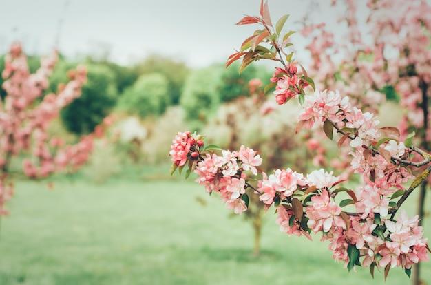 Galho de árvore de cereja