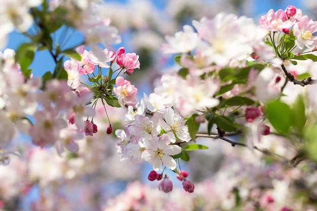 Galho de árvore de cerejeira em flor.