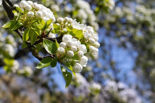 Galho de árvore de maçã com botões de flores brancas no início da primavera contra o céu