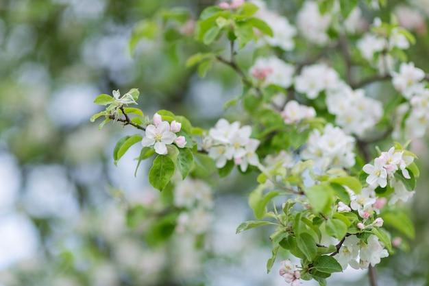 Galho de árvore de maçã florescendo.