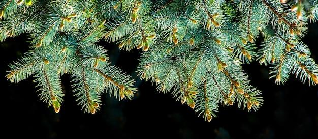 Galho de árvore de natal com agulhas verdes frescas