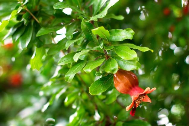 Galho de árvore de romã com flores