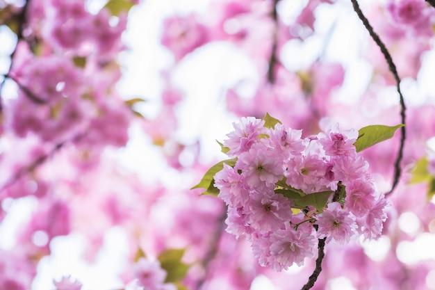 Galho de árvore de sakura floresce. fundo desfocado. feche acima, foco seletivo.