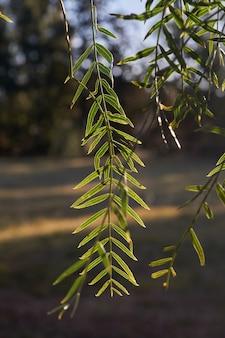 Galho de árvore e folhas de schinus mollis ou schinus areira. fundo desfocado.
