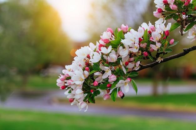 Galho de árvore em flor. lindas flores brancas e folhas verdes. floração de primavera.