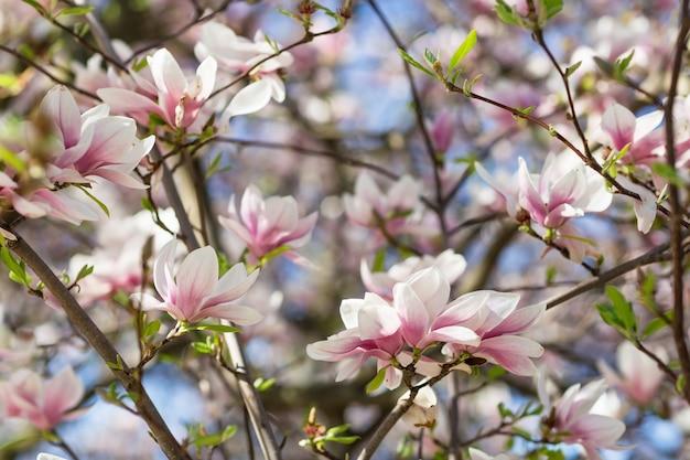 Galho de árvore florescendo magnólia.