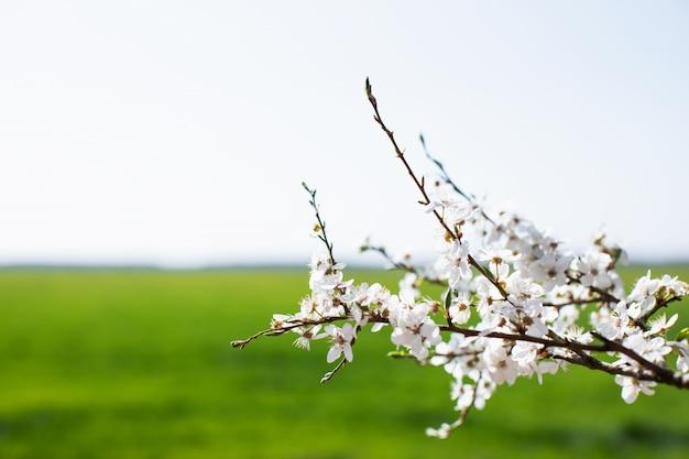 Galho de árvore florescendo no fundo do campo verde