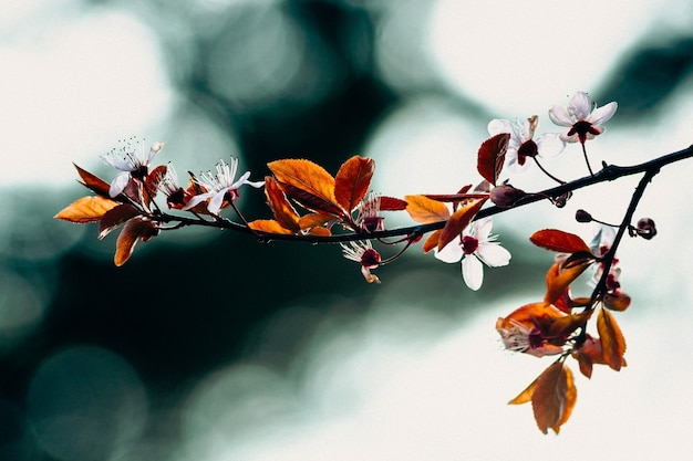Galho de árvore frutífera com folhas jovens e flores brancas em um céu turquesa