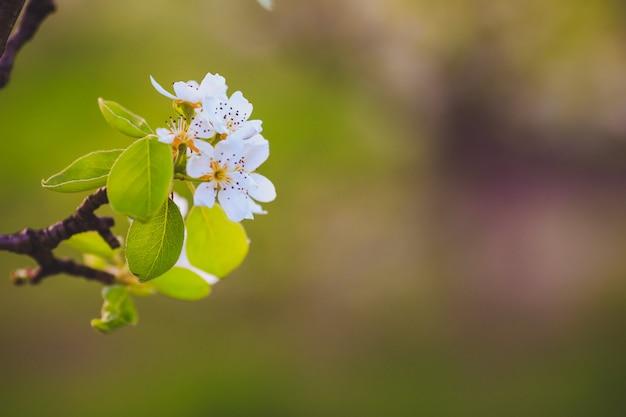 Galho de árvore linda maçã com flores