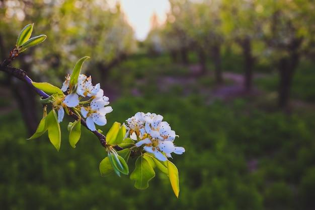 Galho de árvore linda maçã com luz solar