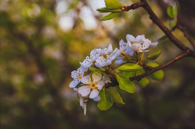 Galho de árvore linda maçã com sol