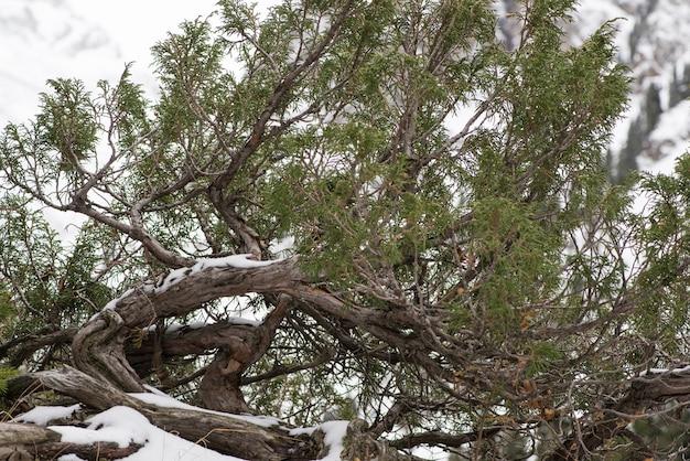 Galho de árvore seca com folhas nas montanhas nevadas