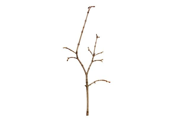Galho de árvore sem folhas isoladas em fundo branco
