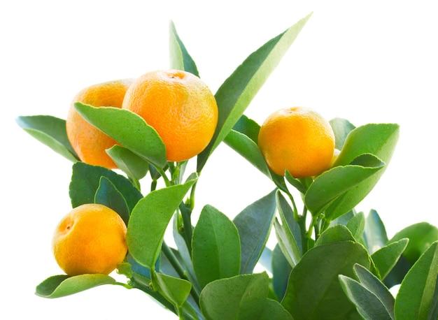 Galho de árvore tangerina isolado em parede branca