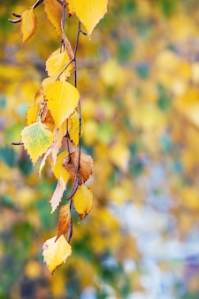 Galho de bétula com folhas douradas de outono