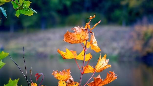 Galho de bordo com brilhantes folhas de outono perto do rio