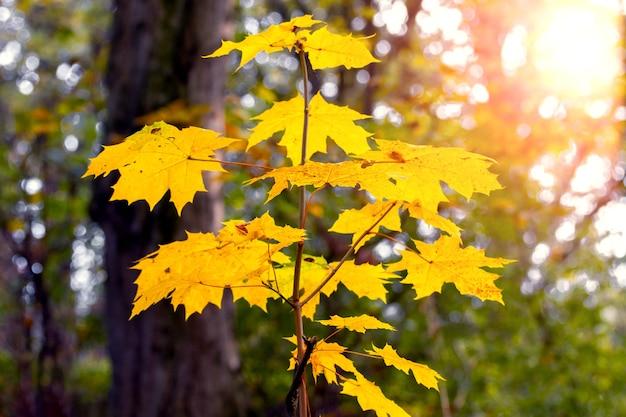 Galho de bordo com folhas amarelas em uma árvore na floresta de outono sob a luz do sol