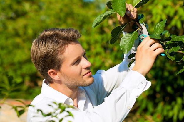 Galho de corte de uma árvore de fruta com aparador
