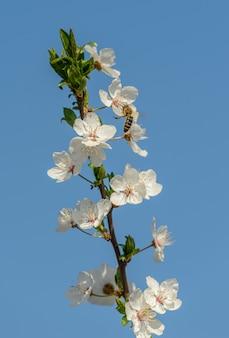 Galho de flor de cerejeira no céu azul com abelha, detalhe