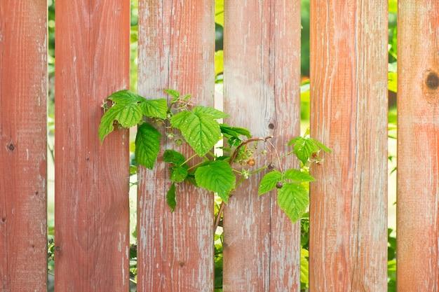 Galho de framboesa crescendo através da cerca de madeira pintada de laranja