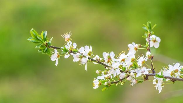 Galho de maçã florescendo em fundo verde