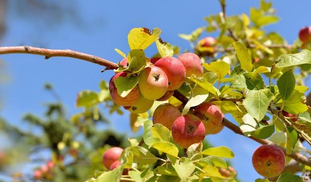 Galho de macieira com maçãs vermelhas maduras no céu azul