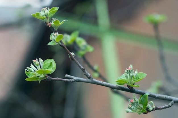 Galho de macieira em flor