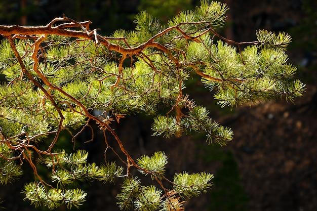 Galho de pinheiro close-up