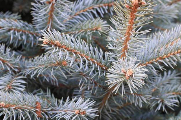 Galho de pinheiro closeup