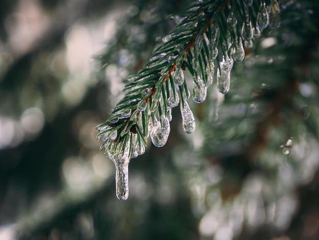 Galho de pinheiro coberto com gotas de água congelada