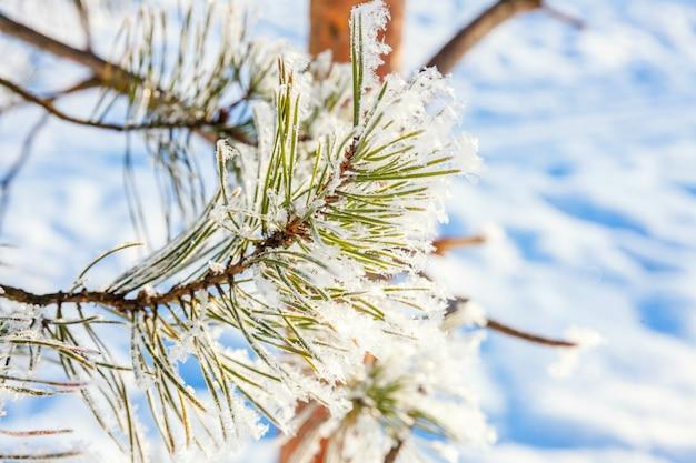 Galho de pinheiro gelado no bosque nevado. tempo frio na manhã ensolarada