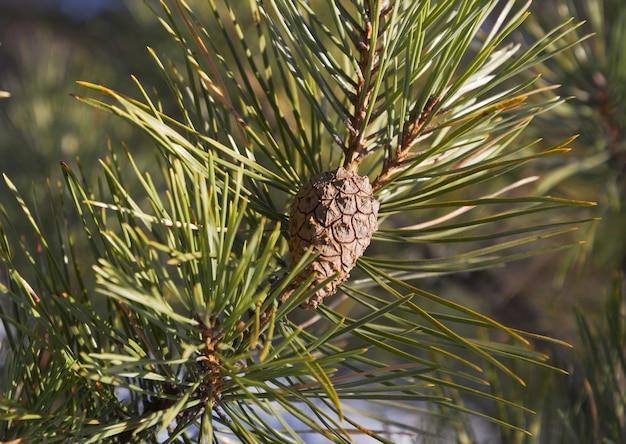 Galho de pinheiro verde com agulhas longas e um pequeno cone closeup sem pessoas desfocadas o fundo