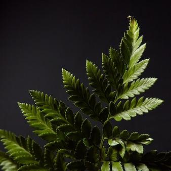 Galho de samambaia verde fresco apresentado em uma parede preta com destaques de luz e espaço de cópia. layout de folhagem natural. postura plana