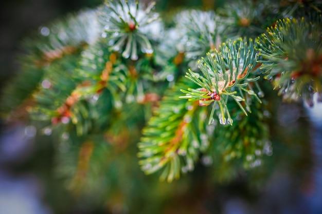 Galho de uma árvore conífera