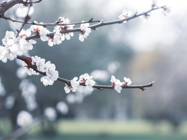 Galho de uma árvore em flor na primavera