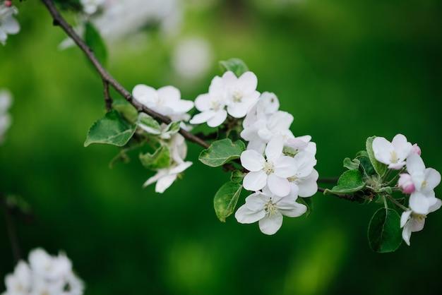 Galho fresco de macieira florescendo em uma natureza verde-clara. jardim primavera. textura floral foco suave. fechar-se.