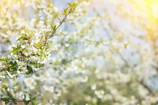 Galho galhos de cerejeira em flor, fundo de nascente natural, flor de sakura