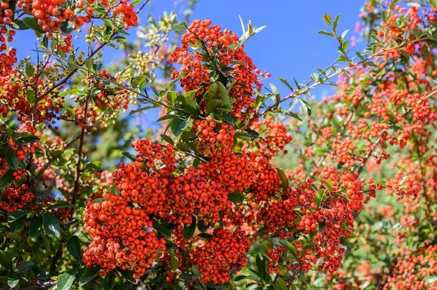 Galhos com cachos de frutas silvestres laranjas fecham o foco seletivo no fundo do céu