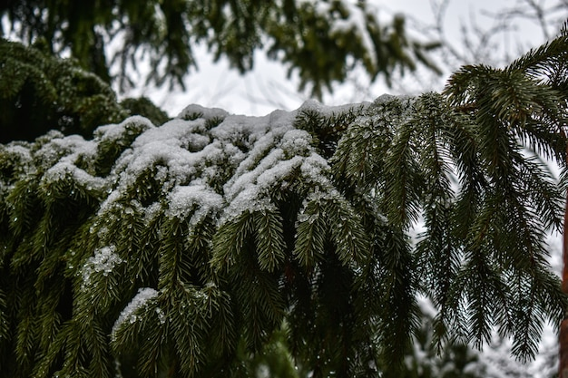Galhos comeram na neve branca