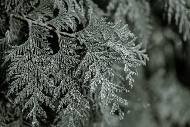 Galhos congelados eram comidos nas primeiras horas da manhã gelada.
