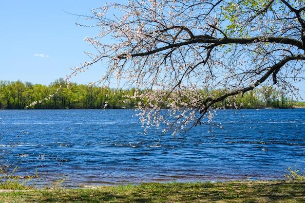 Galhos da árvore de alperce florescendo na primavera