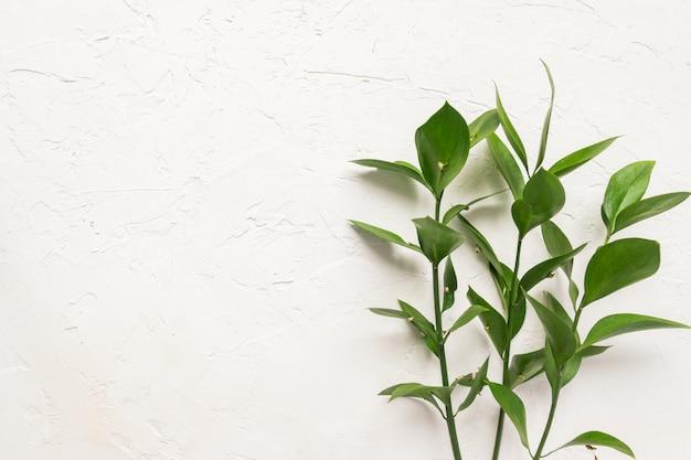 Galhos da planta ruscus em fundo branco de concreto.