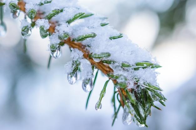 Galhos de abeto. em alfinetes e agulhas penduradas gotas congeladas de gelo. profundidade de campo rasa, fundo abstrato.