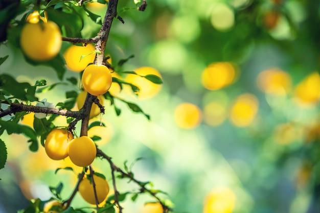 Galhos de ameixas com ameixas maduras amarelas no pomar. fundo da natureza. pomar de ameixa no verão