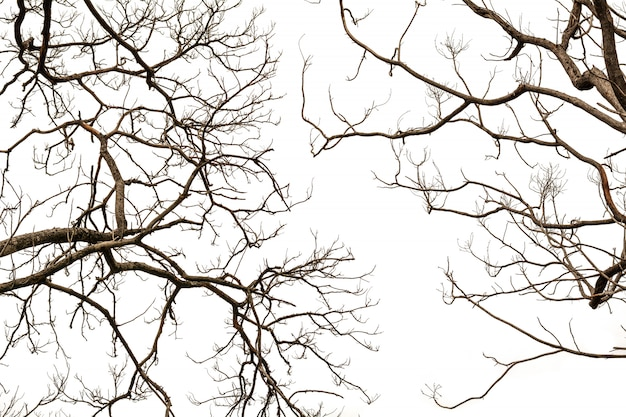 Galhos de árvore nua, isolados no branco.