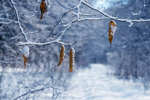 Galhos de árvores cobertos de neve com folhas secas na floresta de inverno, estrada coberta de neve na floresta de inverno