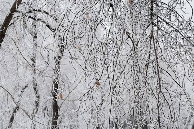 Galhos de árvores cobertos de neve. geadas nos galhos. natureza do inverno.