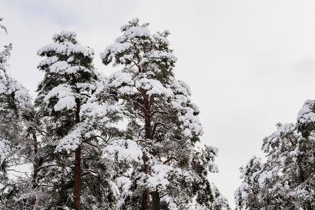 Galhos de árvores cobertos de neve na floresta. as copas das árvores na neve.