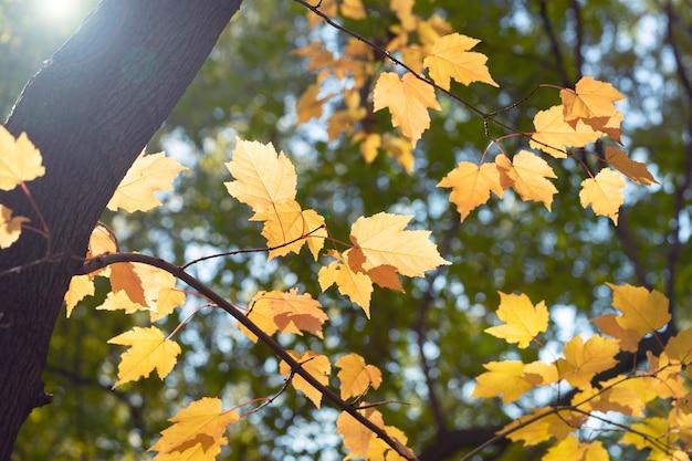 Galhos de árvores com folhas amarelas brilhantes no contexto do céu e do parque.
